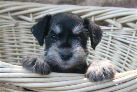 puppies for sale in nashville puppies for sale miniature schnauzer miniature schnauzers f category in cross