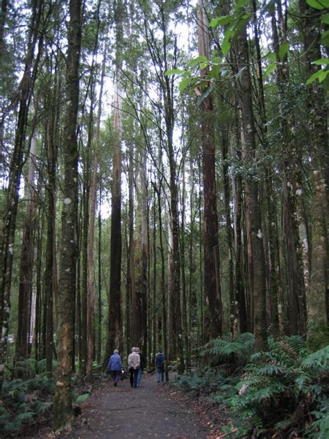 visitor pattern walk tree lavers hill photos travel victoria accommodation