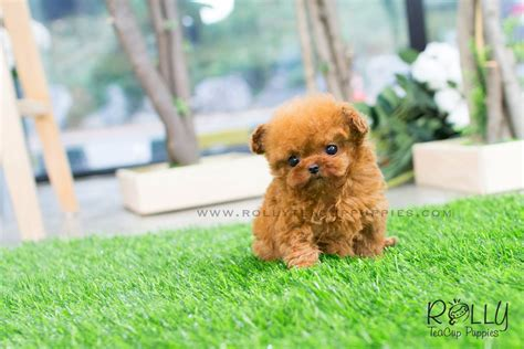 teacup poodle puppies for sale near me zoey poodle f rolly teacup puppies