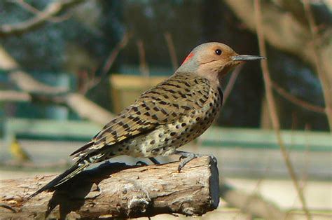 woodpeckers of missouri