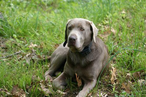 silver lab puppies washington hickory princess silver hickory silver labs