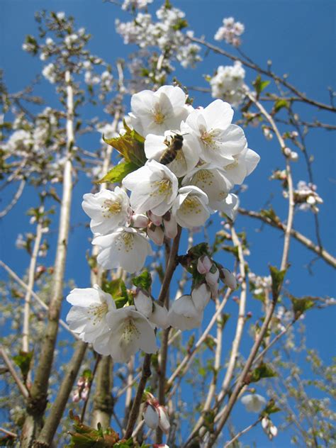 white flowering cherry prunus umineko 171 chew valley trees