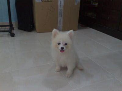 snow white pomeranian pomeranian puppy sold 9 years 4 months snow white pomeranian puppy from melaka