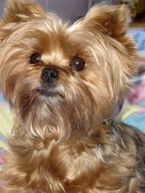 pics of yorkie puppies yorkie puppies haircuts newhairstylesformen2014