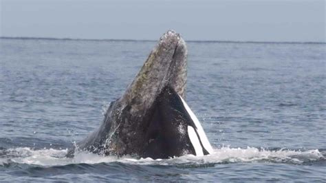whale attacks boat boat crew witnesses whale fight off everett ksdk