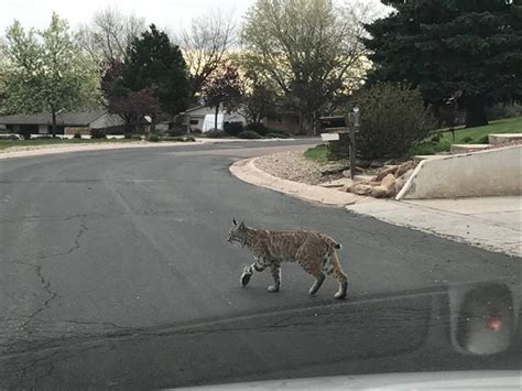 Colorado Springs Independent | The Wire | Bobcat pauses ...