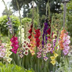 Patio Plant Pots Gladioli Glamourglads Mixed