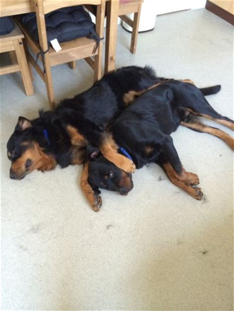 free rottweilers to home free to a home haired rottweiler colchester essex pets4homes