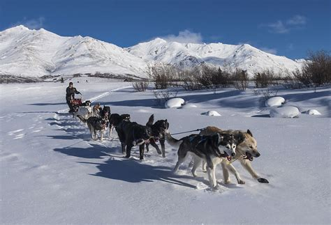 how to sled dogs sled