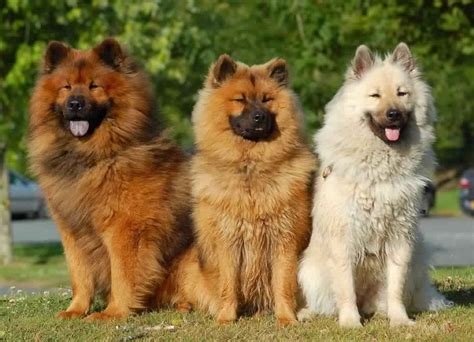 eurasier puppies eurasier history personality appearance health and pictures