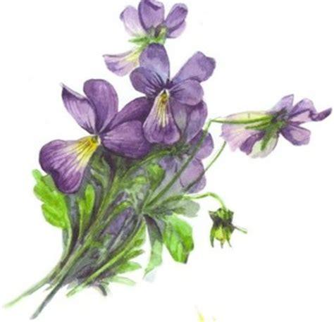 viola fiore disegno erbolario