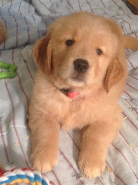 golden retriever puppies for sale in bc best 25 puppies for sale ideas on