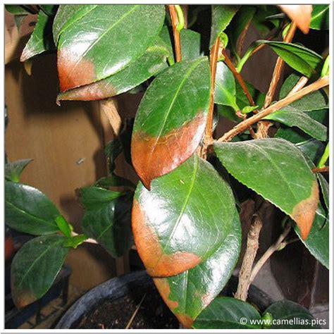Camelia Maladie Rouille les maladies des camellias