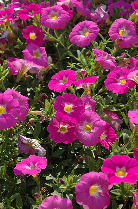 supercal pink ice petchoa petchoa supercal pink ice