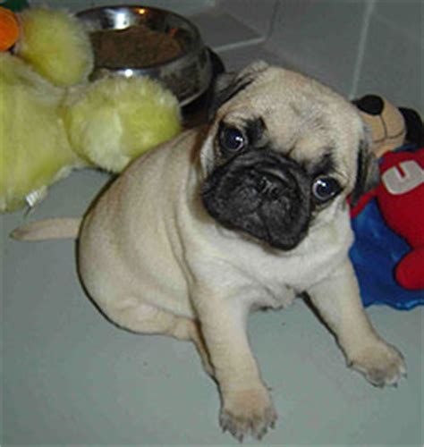 Getting Ready For Your Pug To Puppies