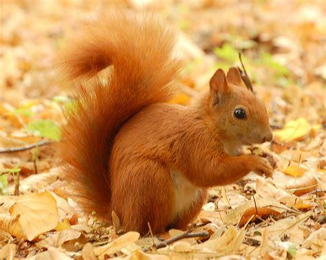 squirrel images marine hotel sutton squirrel woodland conservation