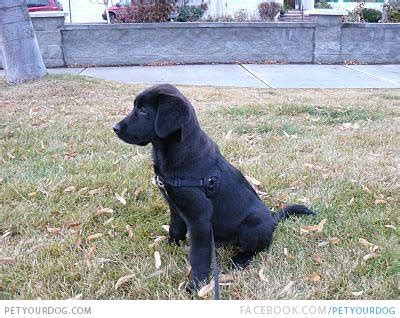 pyrador puppies pyrador dogs breeds picture breeds picture