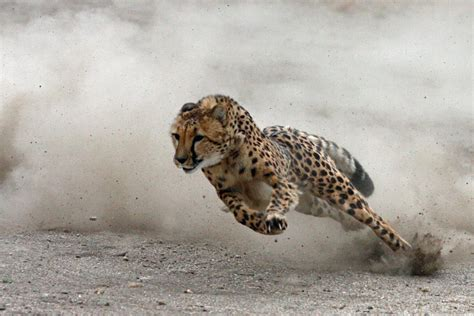Turns Cheetah redsight890 collection dogs help cheetahs overcome