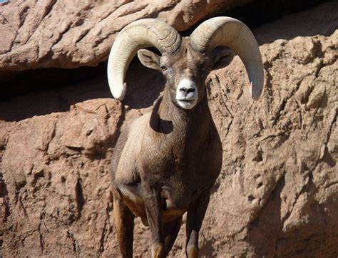 ram meaning ram animal totem symbolism meanings sun signs