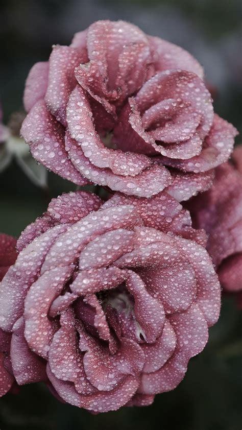 roses petals drops frost iphone   wallpaper