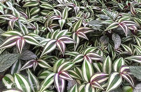 wandering jew plant care tips for growing wandering jew