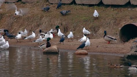feeding birds gulls ducks and pigeons around concrete