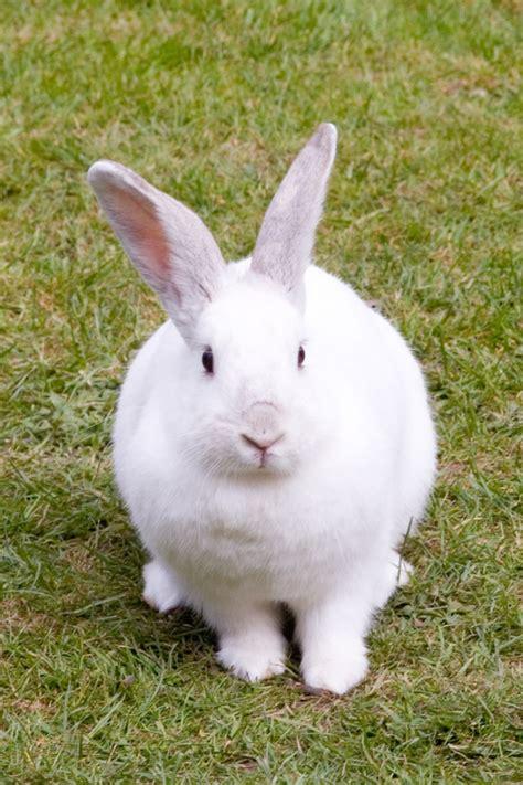 Lop Karakter Kelinci 84 kelinci 32 jenis kelinci yang wajib anda tau komplit budidaya ternak screenshot 4