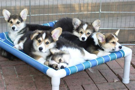 fluffy corgi puppies for sale corgi puppy breeds picture