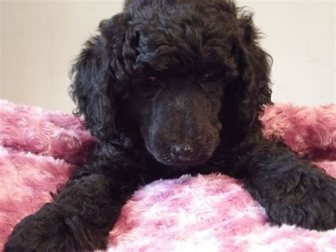 poodle puppies for sale standard poodle dogs for sale walsall west midlands pets4homes