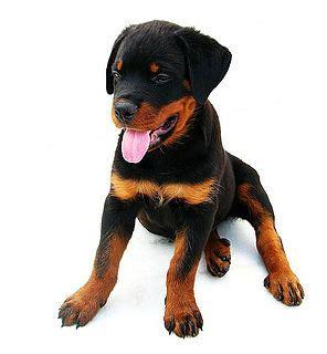 perros rottweiler cachorros cachorro rottweiler con 2 meses mejor amigo cachorros rottweiler