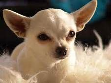 perros peque os de pelo corto razas 12 mejores im 225 genes de razas de perros peque 241 os de pelo