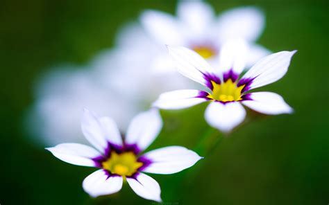 cute hd wallpaper of flowers white and purple flowers cute wallpapers