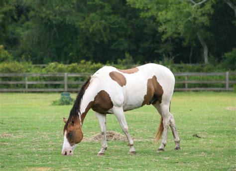 Cribbing Horses Treatment by 83 Cribbing Horses Health Why Do Horses Crib