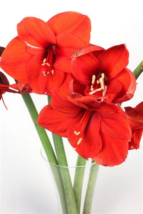 amaryllis fiori orlandi ingrosso fiori modena amarillis orlandi