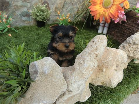 perros yorkie en venta perros terrier venta