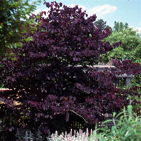 purpleleaf redbud cercis burgundy hearts gorgeous
