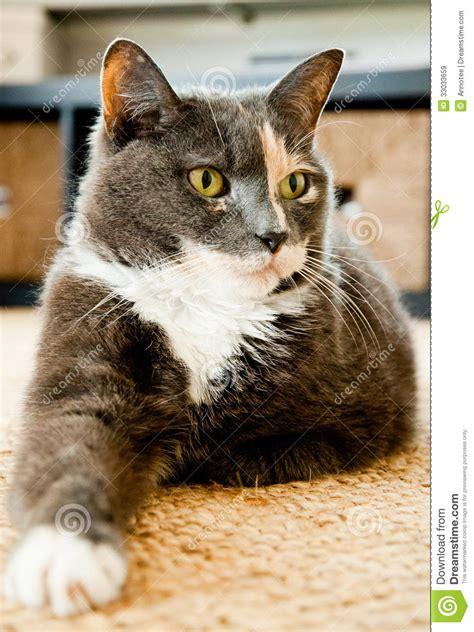 Graue Katze Mit Gr 252 Nen Augen Legt Auf Den Teppich