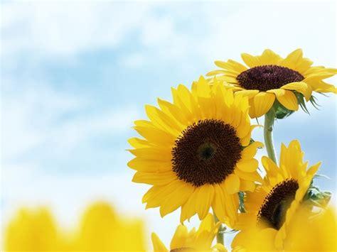wallpaper hd bunga matahari 16 manfaat dan khasiat bunga matahari untuk kesehatan