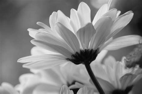 desktop wallpaper black and white flowers black white daisy hd desktop wallpapers 4k hd