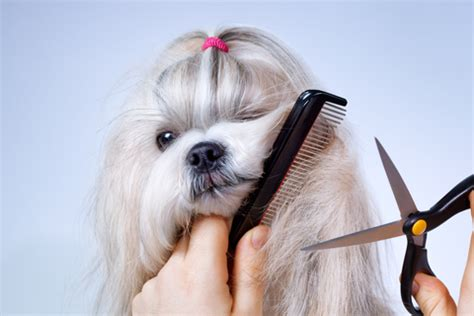 comb for shih tzu shih tzu grooming the that fights the comb shihtzu web