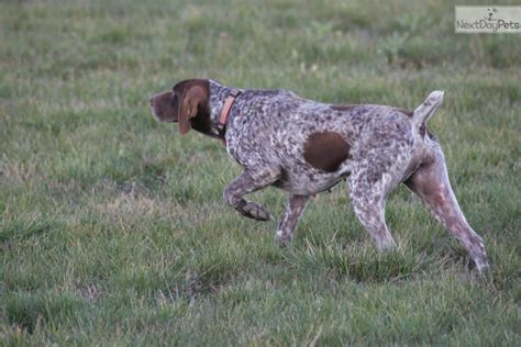 puppies for sale flint mi german shorthaired pointer puppy for sale near flint michigan breeds picture