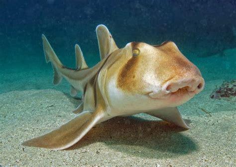 jackson shark jackson shark fishes world hd images free photos
