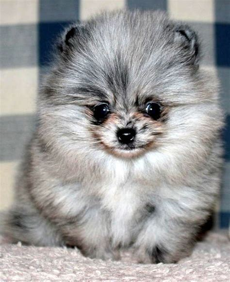 blue pomeranian puppies 25 best blue merle pomeranian ideas on blue pomeranian pomeranian puppy