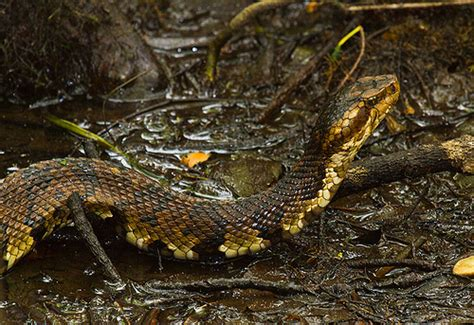 Garden Snake South Carolina by Cottonmouth Snake At Francis Biedler Forest In South