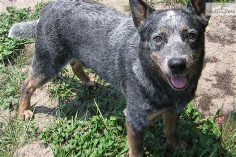 blue heeler puppies nc australian cattle blue heeler puppy for sale near asheville carolina