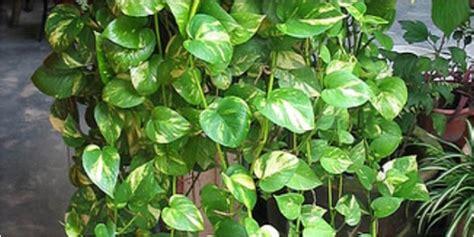Tanaman Suruh Belanda Gantung kesehatan 5 jenis tanaman pembersih udara di dalam rumah vemale