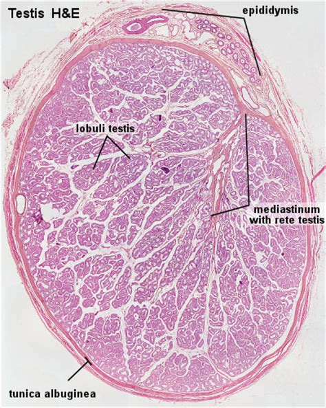 Testis Section by File Testis Histology Jpg Embryology