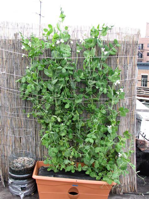 container gardening peas bucolic bushwick vegetable harvest report 10 plant