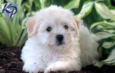 havaneses puppies for sale new havanese puppy havanese breeder havanese puppies havanese rachael edwards