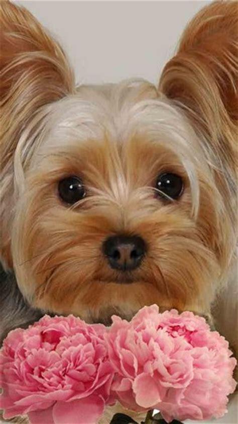 imagenes para fondo de pantalla tiernas im 225 genes bonitas de cachorros de yorkshire im 225 genes de